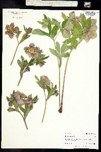 Helleborus niger image