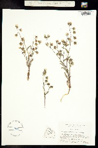 Image of Emmenanthe rosea