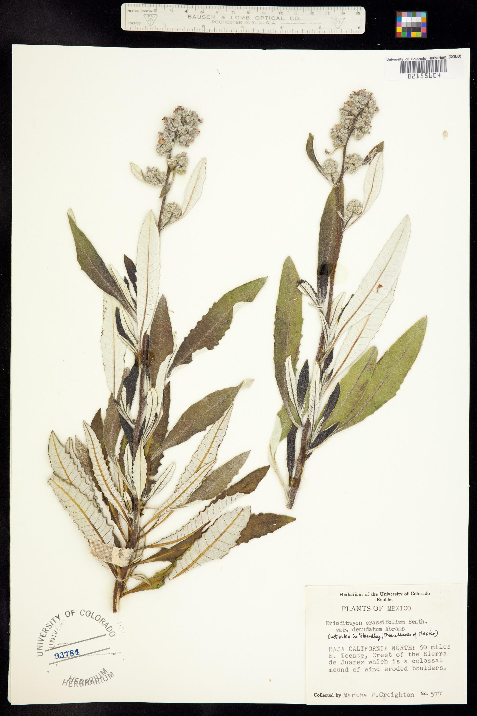 Eriodictyon crassifolium image