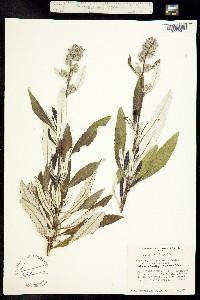Image of Eriodictyon crassifolium