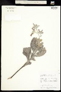 Eriodictyon tomentosum image