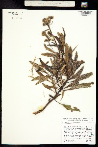 Eriodictyon trichocalyx image