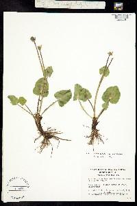Psychrophila leptosepala image