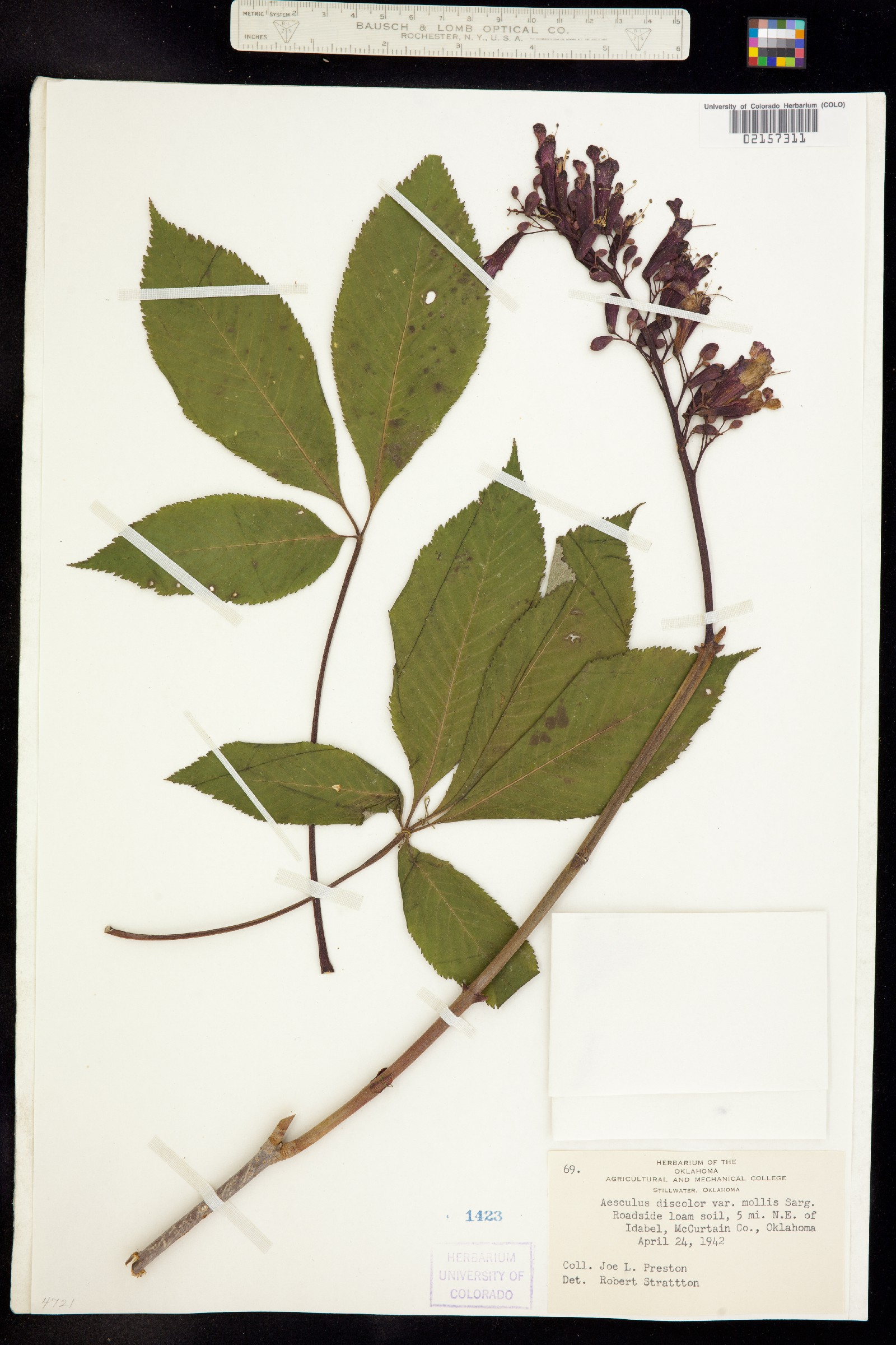 Aesculus discolor image