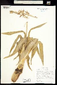 Image of Camassia cusickii