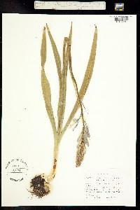 Image of Camassia quamash