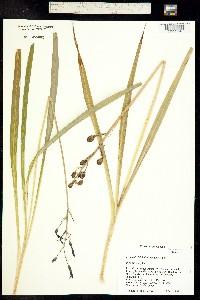 Image of Camassia leichtlinii