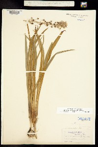 Image of Camassia scilloides