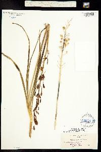 Image of Camassia howellii