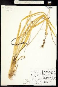 Image of Hastingsia bracteosa