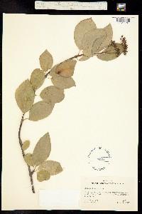 Image of Decumaria barbara