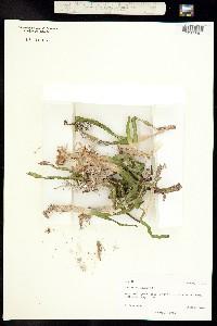 Thalassia testudinum image