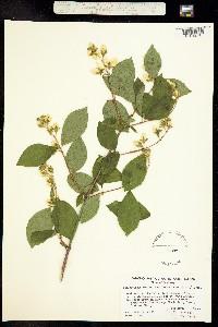 Image of Philadelphus lewisii