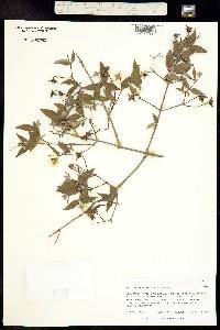 Philadelphus madrensis image