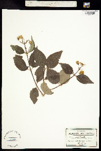 Image of Philadelphus affinis
