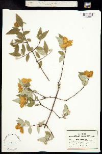 Image of Philadelphus coulteri