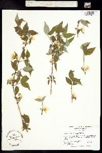 Image of Philadelphus hirsutus