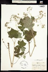 Image of Hydrophyllum appendiculatum