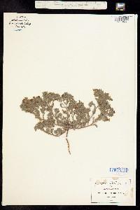 Nama hispidum image