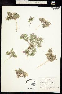 Image of Nama aretioides