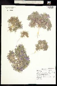 Nama aretioides image