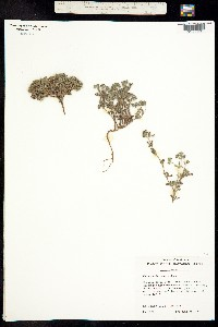 Nama sandwicensis image