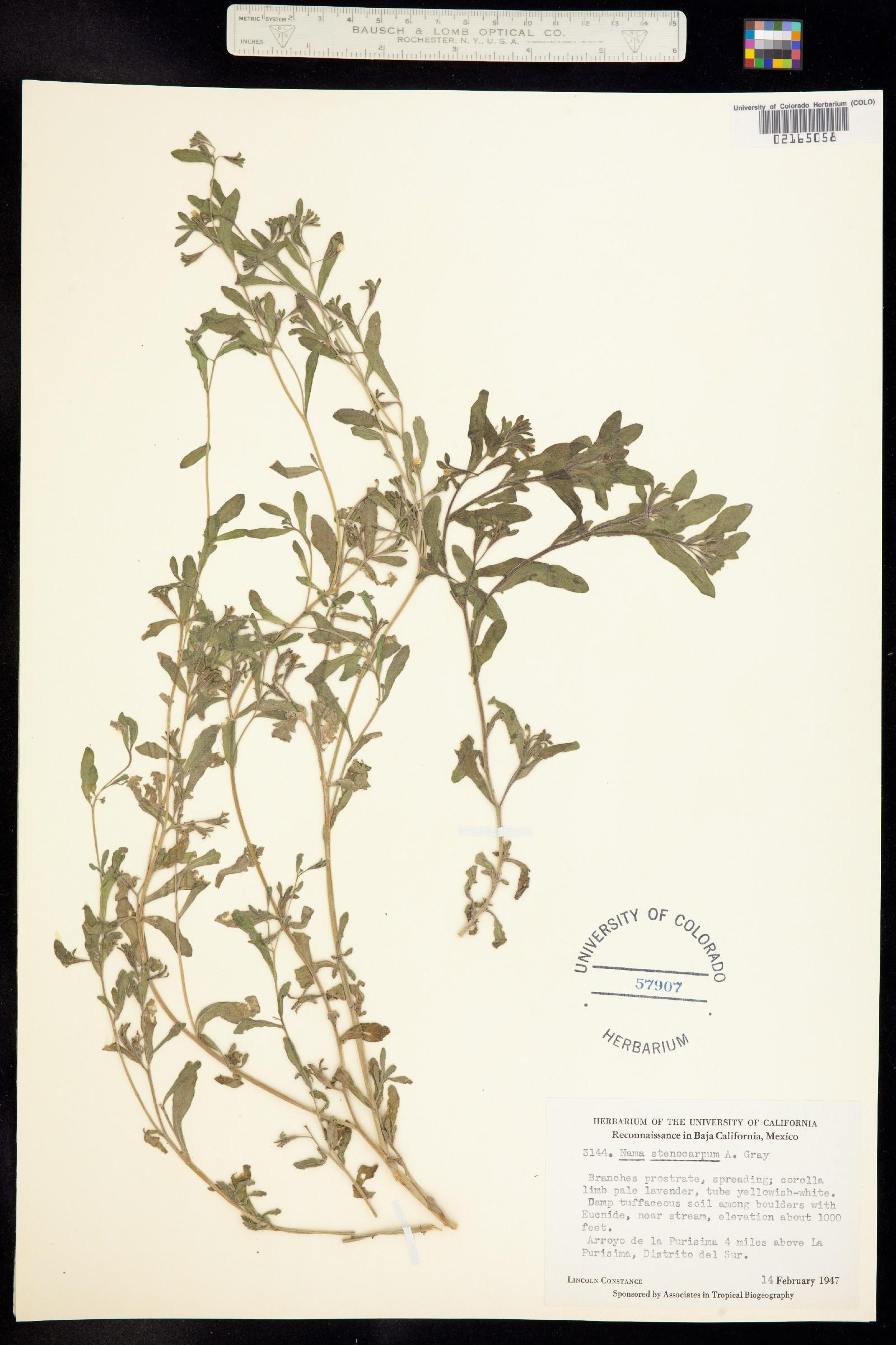 Nama stenocarpa image