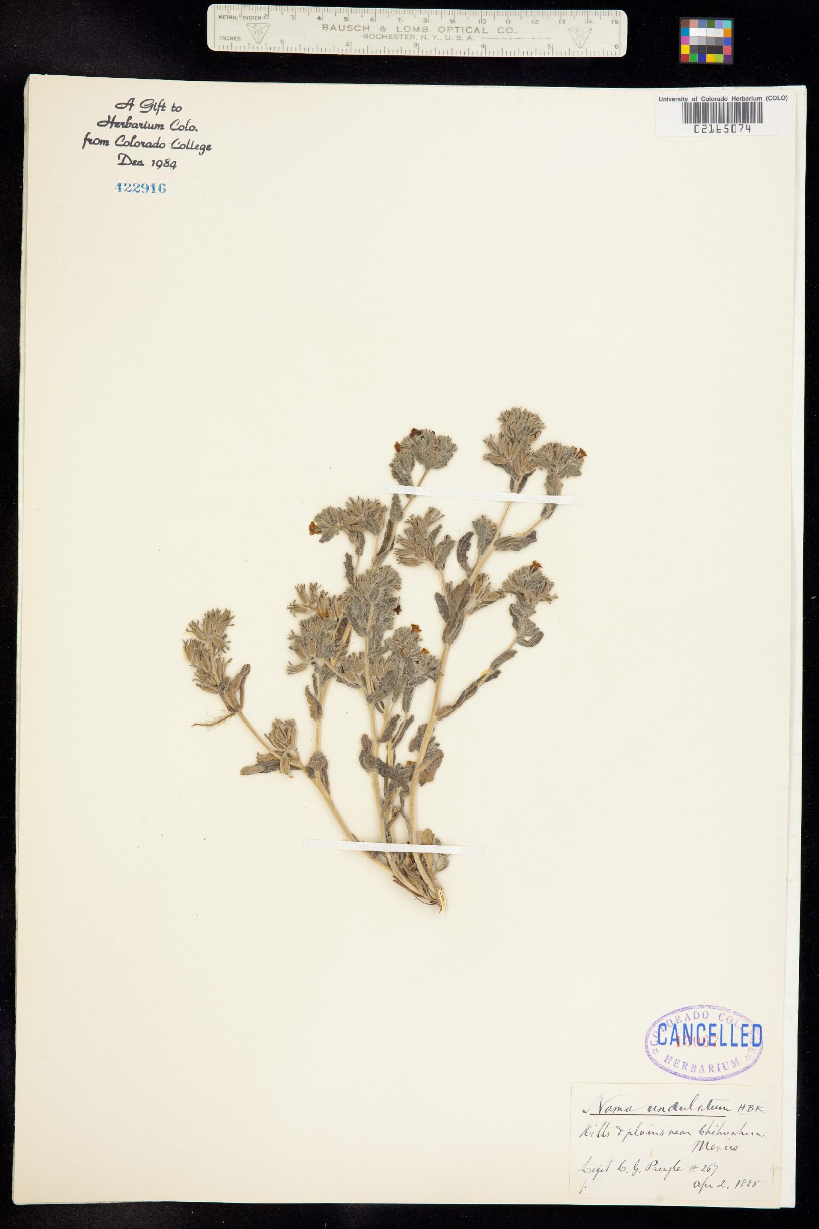 Nama undulata image
