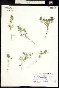 Nemophila breviflora image