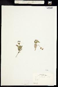 Nemophila maculata image