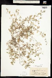 Image of Nemophila heterophylla