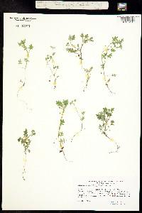 Image of Nemophila parviflora