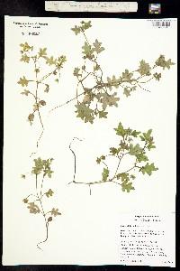 Image of Nemophila kirtleyi