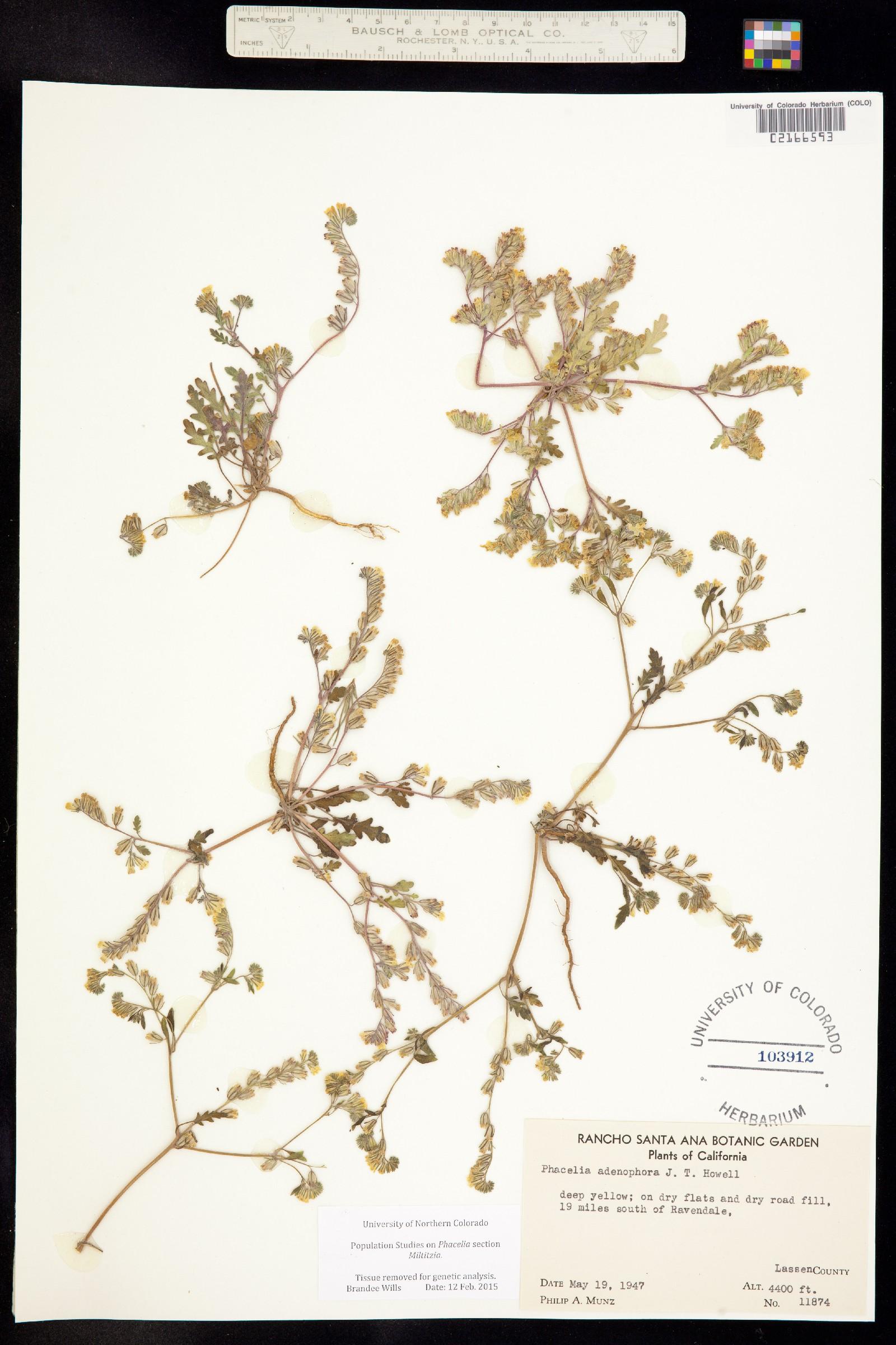 Phacelia adenophora image