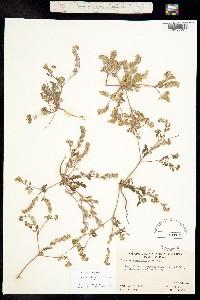 Image of Phacelia adenophora