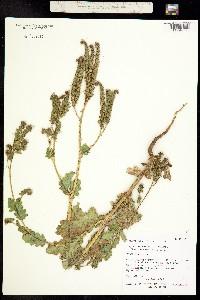 Image of Phacelia anelsonii