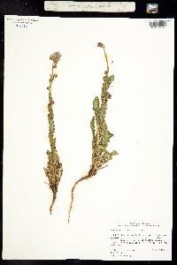 Phacelia anelsonii image