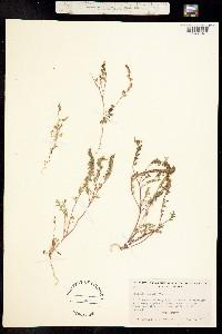 Phacelia bicolor image