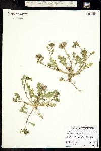 Phacelia ciliata image