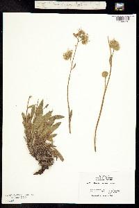 Phacelia corymbosa image