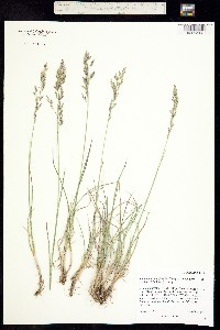 Poa fendleriana ssp. longiligula image