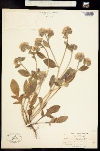 Phacelia divaricata image