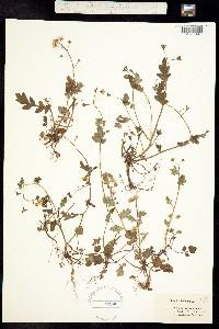 Image of Phacelia fimbriata