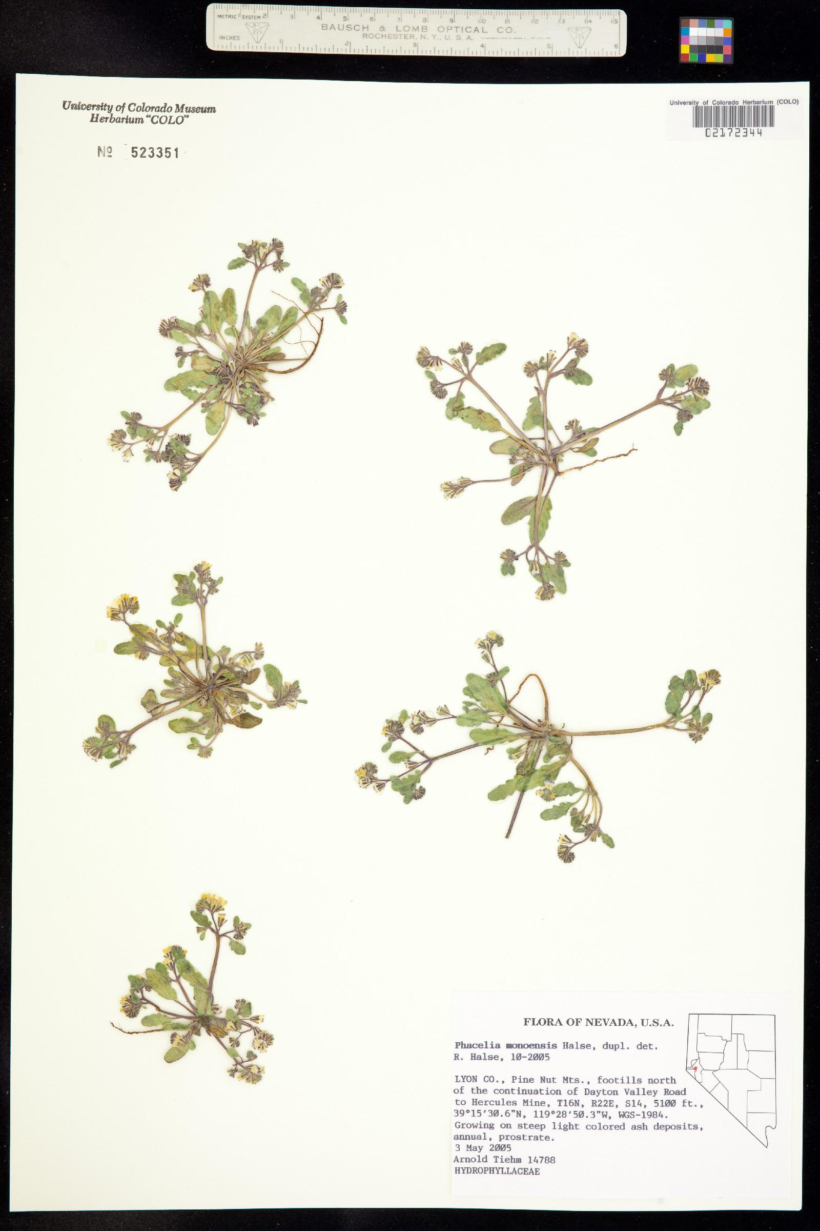 Phacelia monoensis image