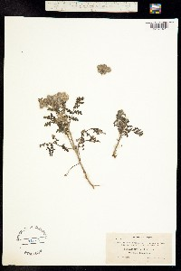 Phacelia floribunda image