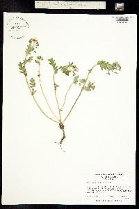 Phacelia fimbriata image
