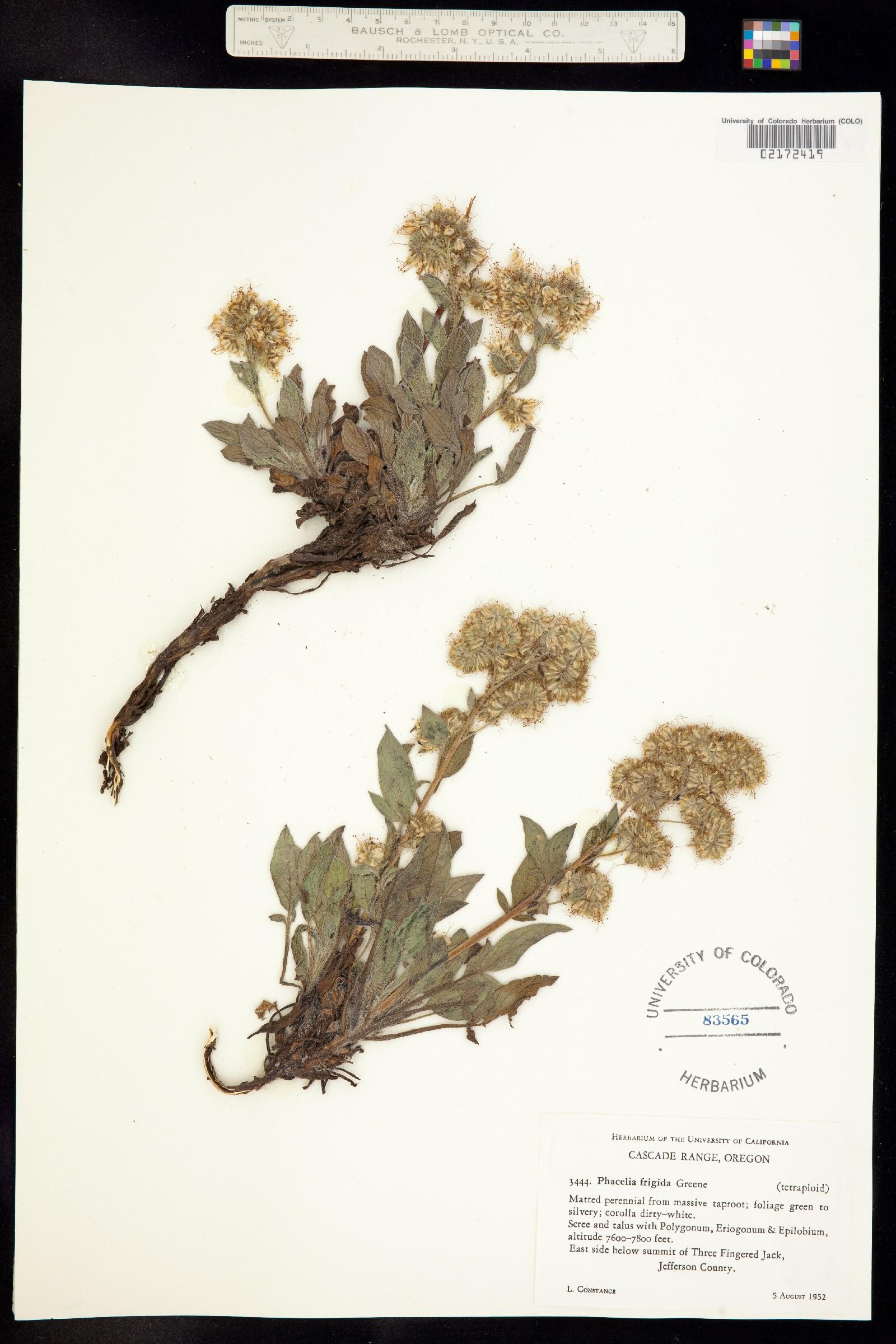 Phacelia hastata var. compacta image