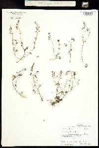 Phacelia glabra image
