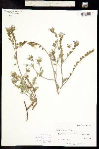 Image of Phacelia fremontii