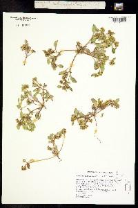 Phacelia glaberrima image